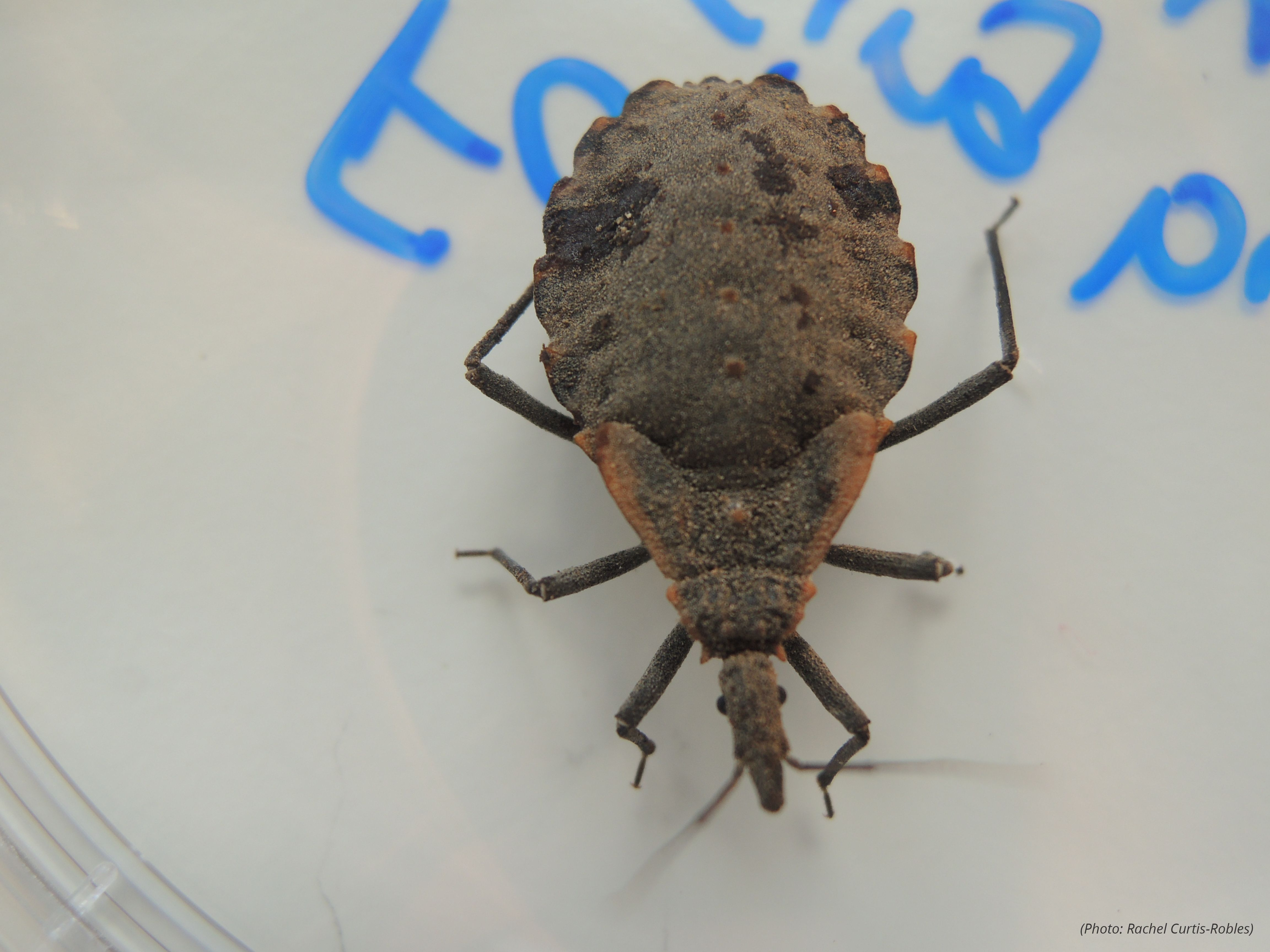 FAQ | Kissing Bugs and Chagas Disease in the U.S. | Texas A&M