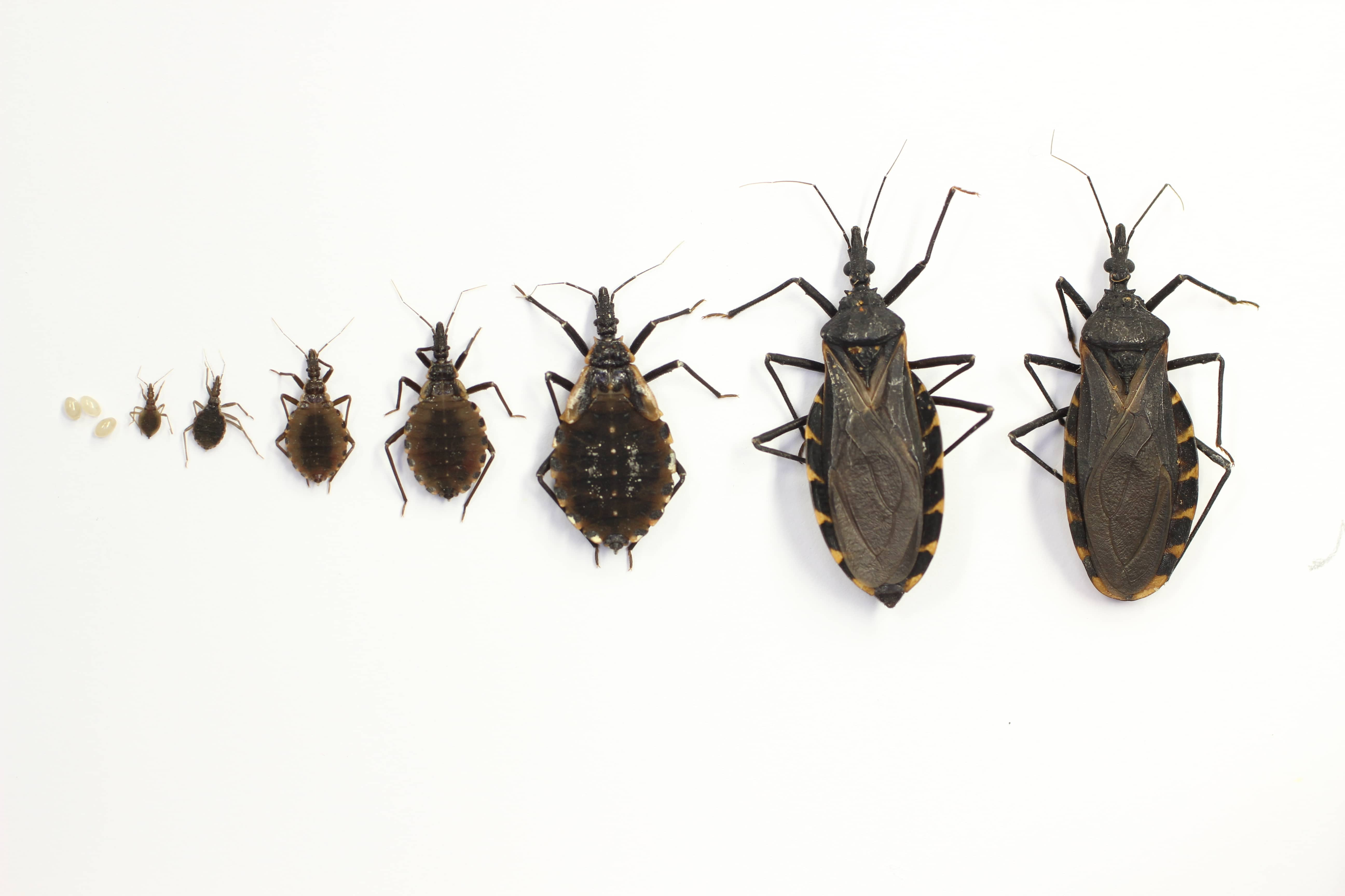 Lifecycle stages of a kissing bug, including larval and adults stages.