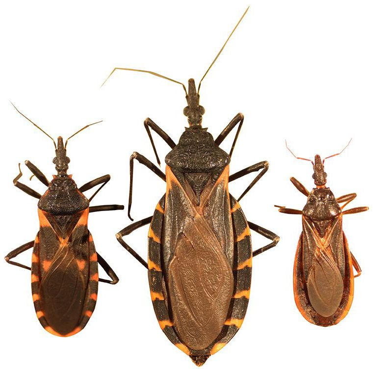 Three species of kissing bugs that can be found in Texas.