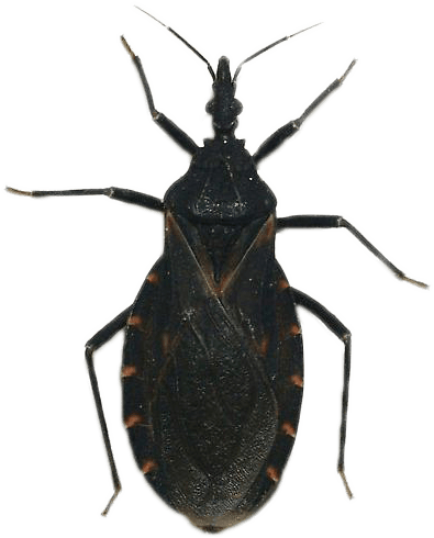 T  indictiva. Hidden Threat  The Kissing Bug  Hundreds of Texas Dogs Infected