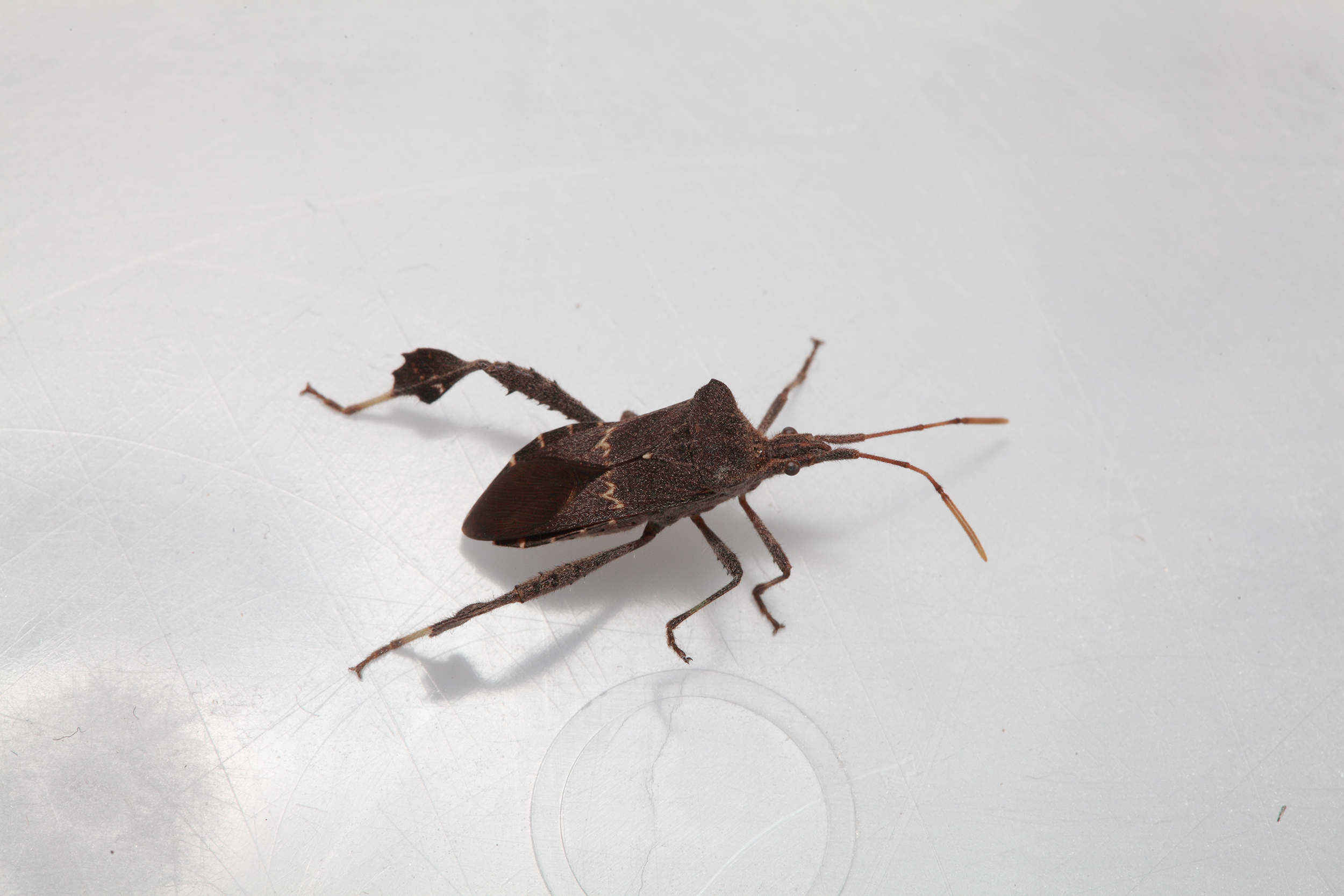 . Found a Bug    Kissing Bugs and Chagas Disease in the U S    Texas A M