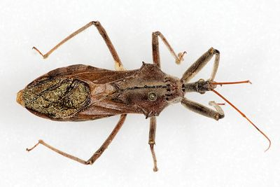 found a bug kissing bugs and chagas disease in the u s texas a m