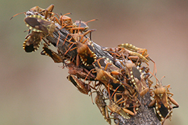 Leaf-footed bugs on Branch