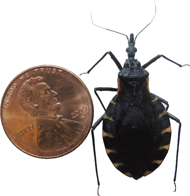Size comparison between a kissing bug and a U.S. penny.