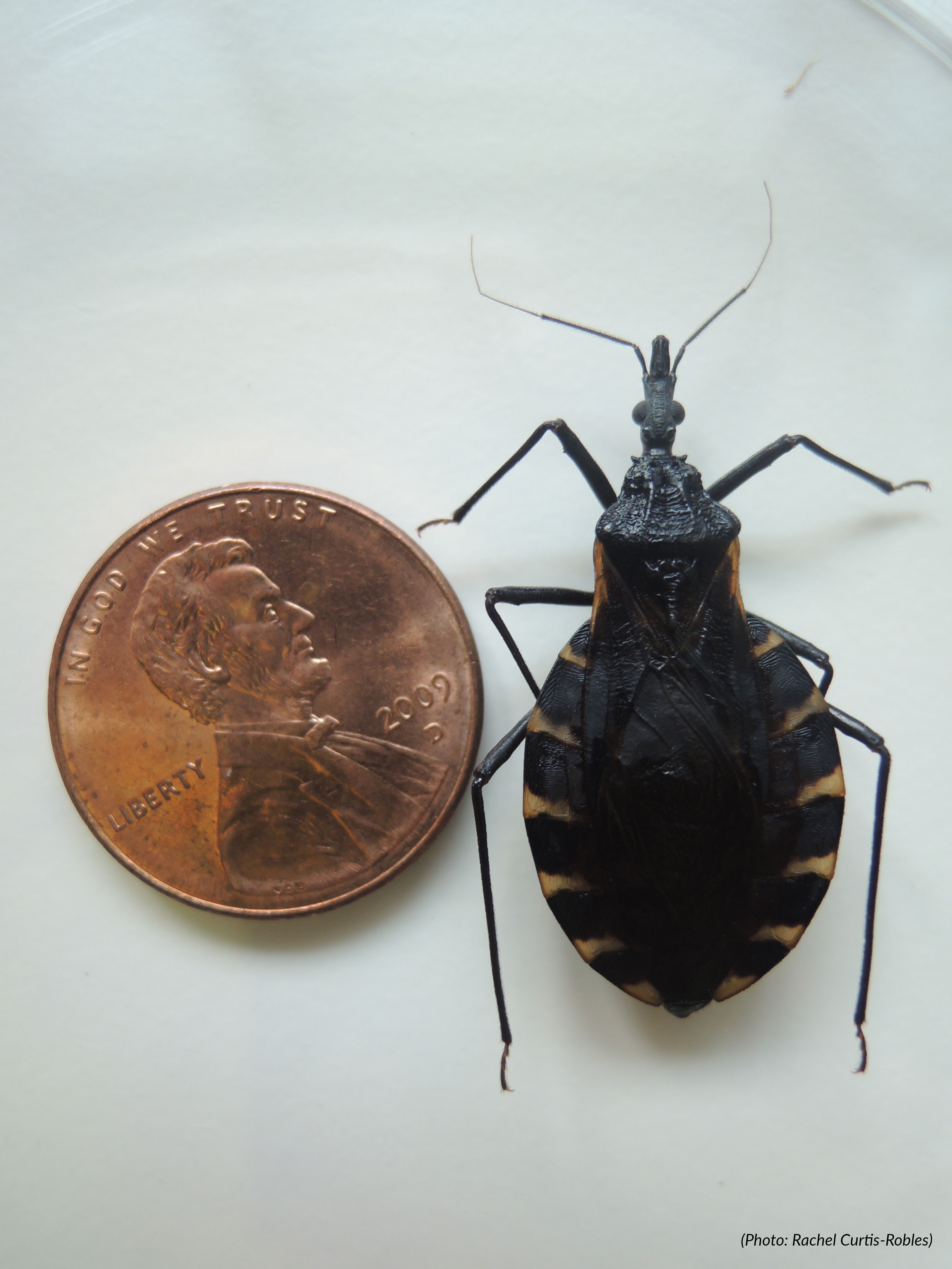 faq kissing bugs and chagas disease in the u s texas a m. Black Bedroom Furniture Sets. Home Design Ideas